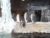 image of emperor  - Emperor penguins - JPG