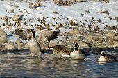 image of snow goose  - Canada Goose Stretching Its Wings While Standing in a Winter River - JPG