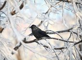 image of raven  - the Raven on snow - JPG