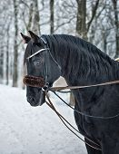 picture of saddle-horse  - The black horse standing in the woods - JPG