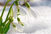 image of snow forest  - Spring snowdrop flowers with snow in the forest - JPG