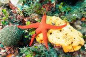 stock photo of echinoderms  - Underwater image Starfish on top of a Sponge Sponge on a reef - JPG
