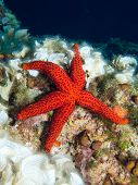 picture of echinoderms  - Underwater photograph of a Red Starfish on a reef next to some peacock - JPG