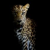 stock photo of leopard  - close up Leopard Portrait animal wildlife black color background - JPG