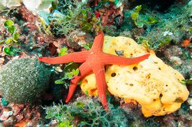 image of starfish  - Underwater image Starfish on top of a Sponge Sponge on a reef - JPG