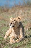 stock photo of saharan  - A female lion lies relaxed in the morning sun front legs and paws spread in front of her while she looks out over the crater - JPG