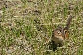 pic of chipmunks  - A chipmunk storing food in it