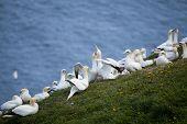 image of gannet  - A group of Gannets at Bempton Cliffs  - JPG