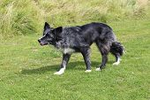 pic of border collie  - Blue merle border collie ready and waiting - JPG