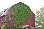 pic of ivy vine  - a barn sits covered by poison ivy - JPG