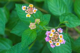 pic of lantana  - Lantana or Wild sage or Cloth of gold or Lantana camara flower in garden - JPG