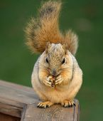 Cute Squirrel Eating poster