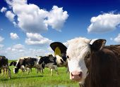 Cows grazing on pasture poster