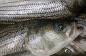 pic of striper  - a cooler full of striped bass on a maryland charter boat - JPG