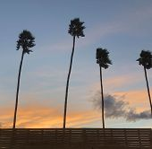 Palm Trees At The Empire Polo Grounds In Coachella California poster