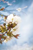 Spring. Apricot Apple Trees In Blossom. Flowers Of Apricot . White Blooms Of Blossoming Tree Close U poster