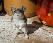 A Cure And Quizacal Wild Brown House Mouse,mus Musculus, Standing On His Haunches Covered In Flour I poster
