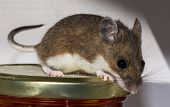 Close Up Side View Of A Wild Brown House Mouse, Mus Musculus, On Top Of A Jar Of Food In A Kitchen C poster