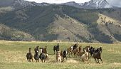 stock photo of wild horse running  - Horses stampeding to avoid roundup - JPG