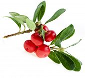 foto of bearberry  - Bearberry  - JPG