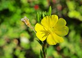 Vibrant Yellow Flowers And Green Buds Of A Evening Primrose Plant poster