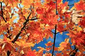 Maple Leaf. Maple Tree with gold, yellow, orange, red , green maple leafs with a blue sky background poster