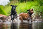 A Labrador Retriever And A Giant Schnauzer Romping In A Water In Fair Weather. poster