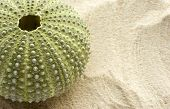 stock photo of sea life  - detail of a sea urchin on sand with space to the right to add copy - JPG