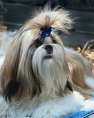 Shih Tzu Brushed And Well-groomed Preparing To Perform At An Exhibition Of Dogs poster