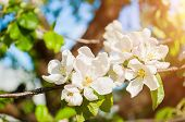 Spring Flowers Of Blooming Spring Apple Tree. Natural Spring Flower Landscape With Spring White Appl poster