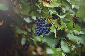Branches Of Grapes Grow In The Fields. Close-up Of Fresh Red Wine Grapes In Italy. Vineyard With Lar poster