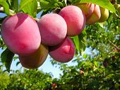 Ripe Cherry-plums On A Tree Branch In The Orchard poster