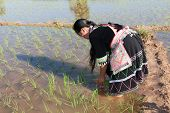 pic of hmong  - Hmong works on rice paddy traditional national costume in Laos - JPG