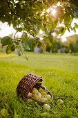 The Basket Of Apples On The Grass Under The Apple Tree poster