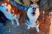 Muzzle Howling Dog. Siberian Husky Howl With His Head Up. Black And White Husky Dog With Blue Eyes.  poster