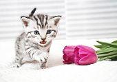 The Kitten Meows Shouts Purebred Kitten. Baby Kitten poster