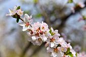 Blooming Cherry. White Blossoms On The Branch On Natural Blurry Background During Spring Blooming .  poster
