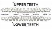 Human Teeth Set Vector. Dental Health. Incisor, Canine, Premolar, Molar Upper, Lower. Clean White To poster