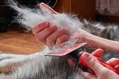 Concept Spring Moulting Dog. Boy Holds In Hands Lump Wool Siberian Husky And Rakers Brush. Husky Dog poster