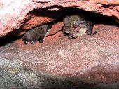 DaubentonS Bat And Brown Long-Eared Bat poster