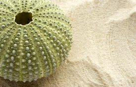 picture of sea life  - detail of a sea urchin on sand with space to the right to add copy - JPG