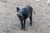 Black Boar Is Looking For Prey. Wild Animals In Nature. Eurasian Wild Pig. poster