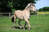 Pretty Fjord Pony Walks On A Fenced Field poster