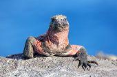 Marine Iguana (amblyrhynchus Cristatus) On Espanola Island, Galapagos National Park, Ecuador. Marine poster
