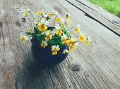 Yellow Viola Flowers In Blue Ceramic Cup, On Wooden Veranda Background. Still Life In Rustic Style.  poster
