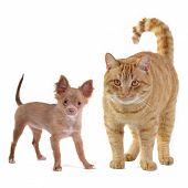 stock photo of chiwawa  - Small dog and big cat - JPG