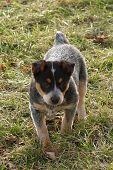 stock photo of blue heeler  - an eight week old austrailian blue heeler puppy explores the yard - JPG