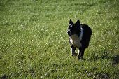 Beautiful Black And White Border Collie Herd Dog In A Pasture. poster