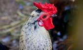 Rooster In The Zoo. Poultry. Cattle. Animal In Captivity. Birds In The Zoo. poster