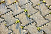 Weed Plants Growing Between Concrete Pavement Bricks. poster